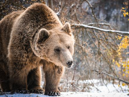 Brown bear Pashuk in the snow