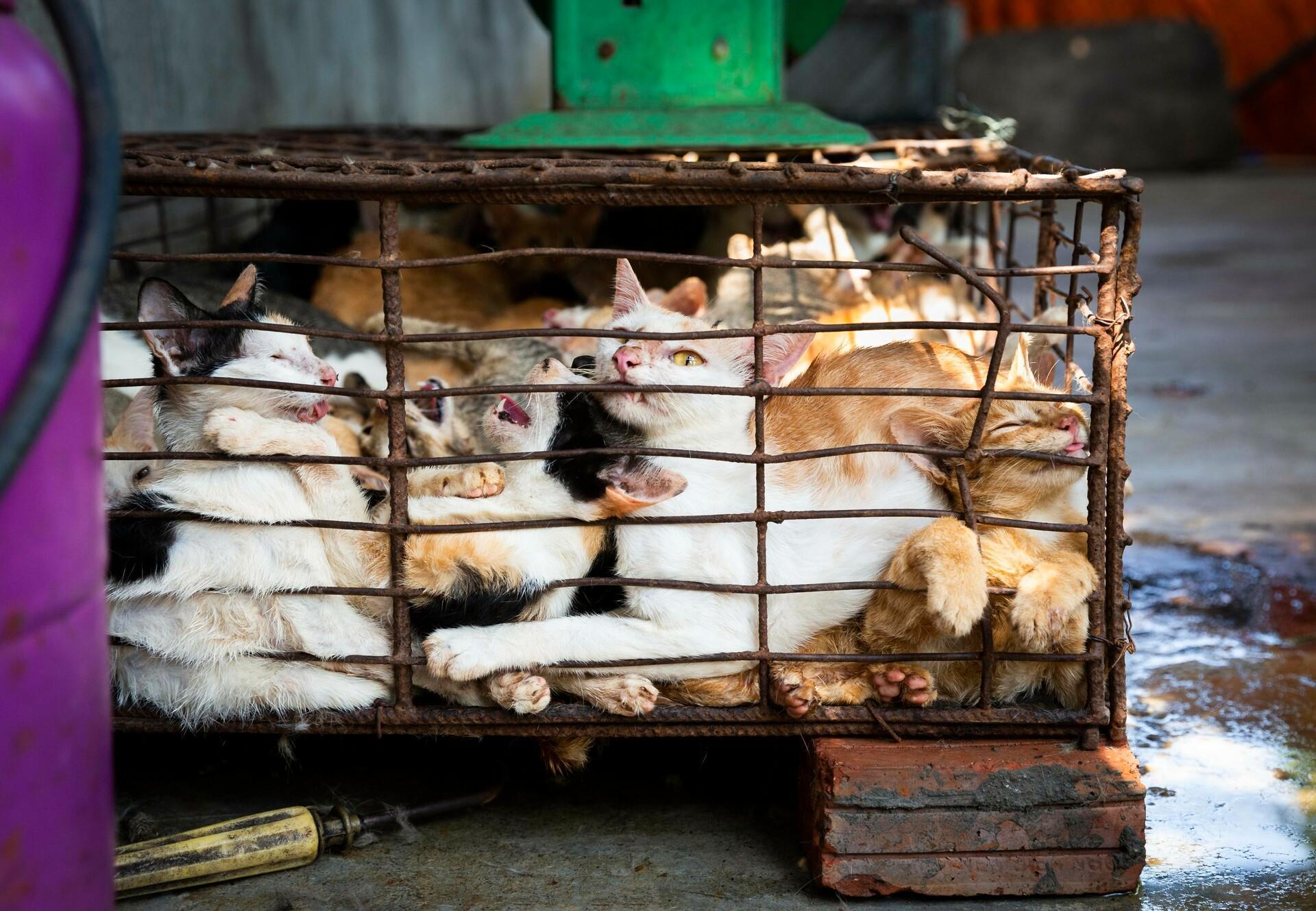 The cat meat trade in Vietnam