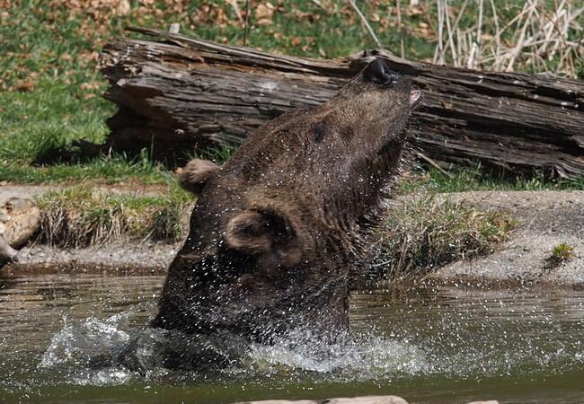 Bear Erich is splashing around with water