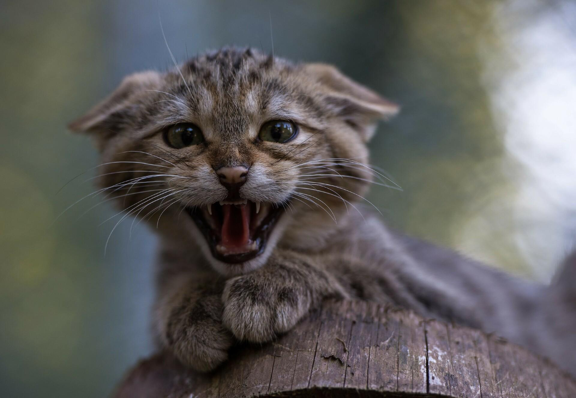 Europäische Wildkatze in TIERART
