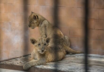 Zwei junge Löwen in Bulgarien