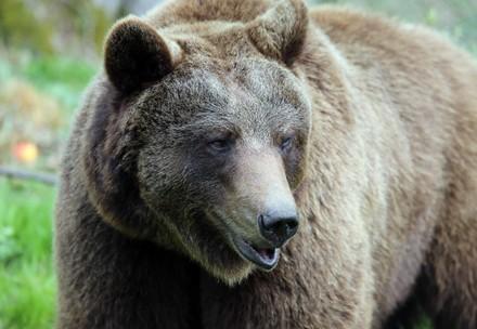 Brown bear Tapsi at BEAR SANCTUARY Müritz