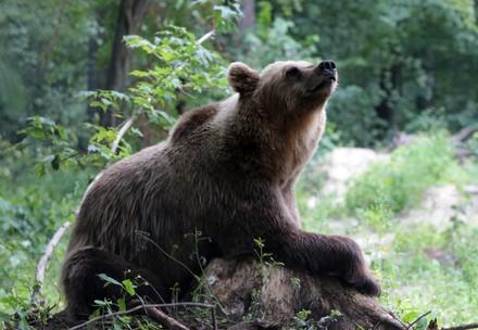 Bear Anya