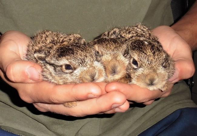 Drei Feldhasenbabies in der EGS Haringsee