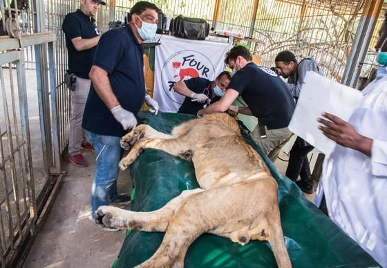Male lion receiving medical treatment