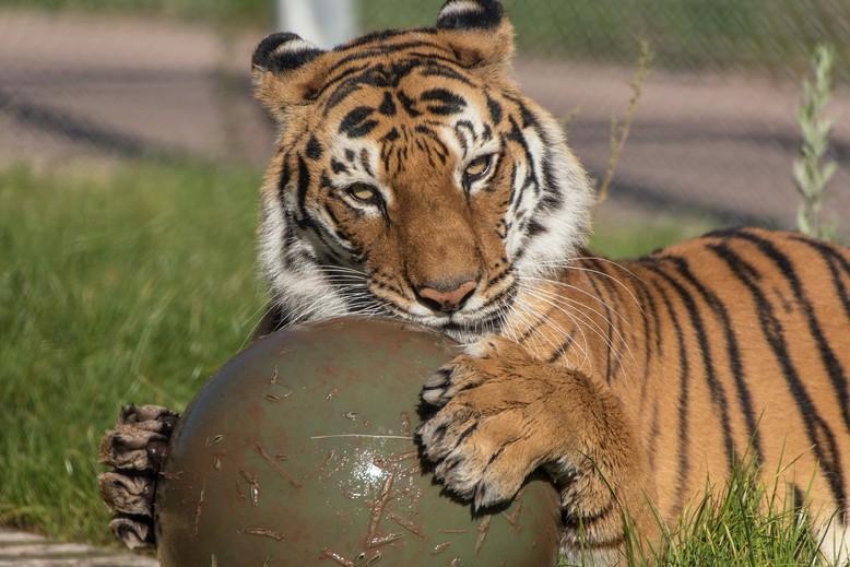 tiger in a sanctuary
