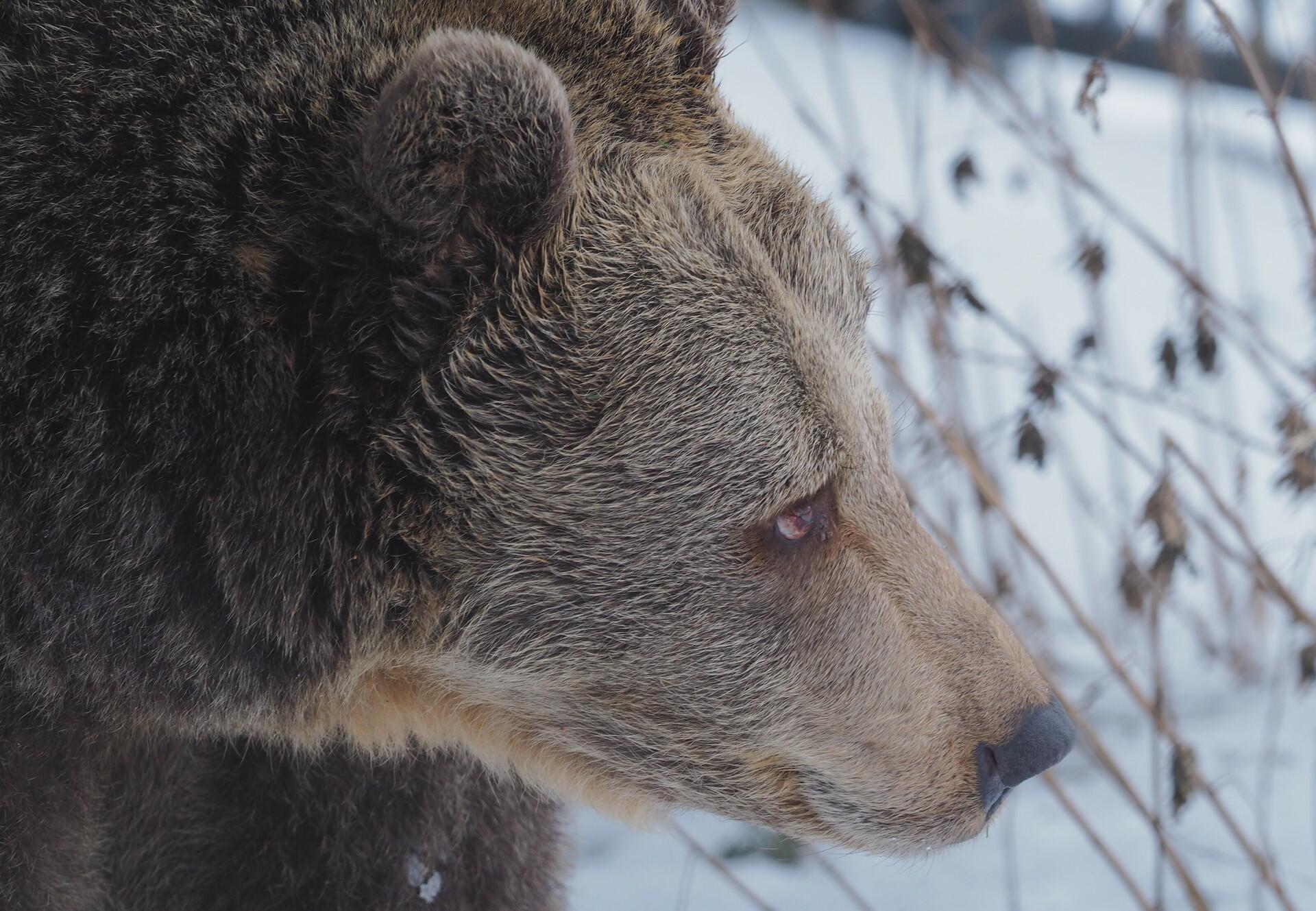 Braunbärin Brumca im Profil, im Hintergrund liegt Schnee