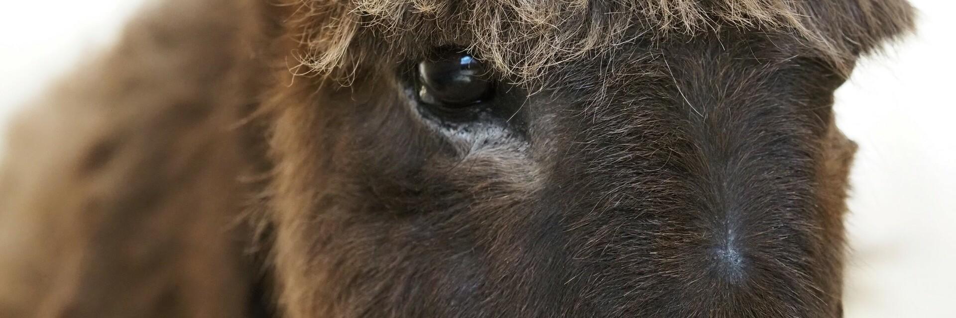 Donkey Puica