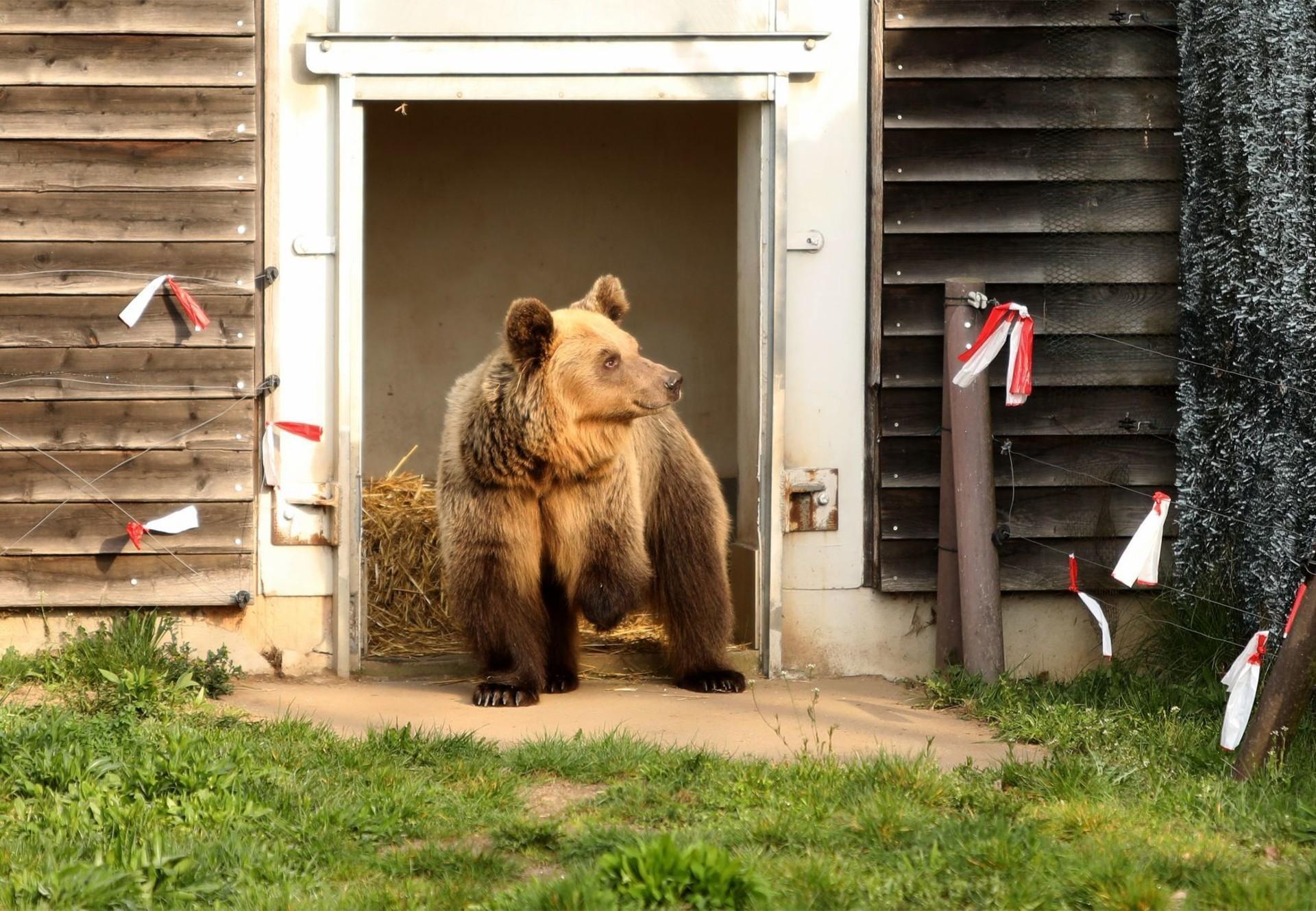 Bärin Dushi erreicht das Bärenschutzzentrum Müritz nach ihrer Rettung