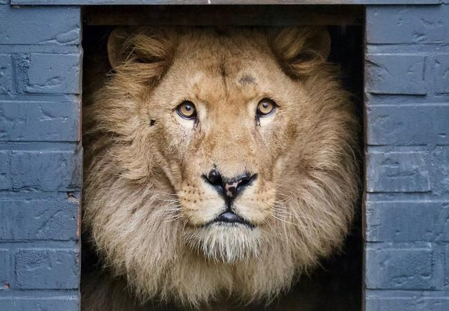 Bobby the lion looking out of his house