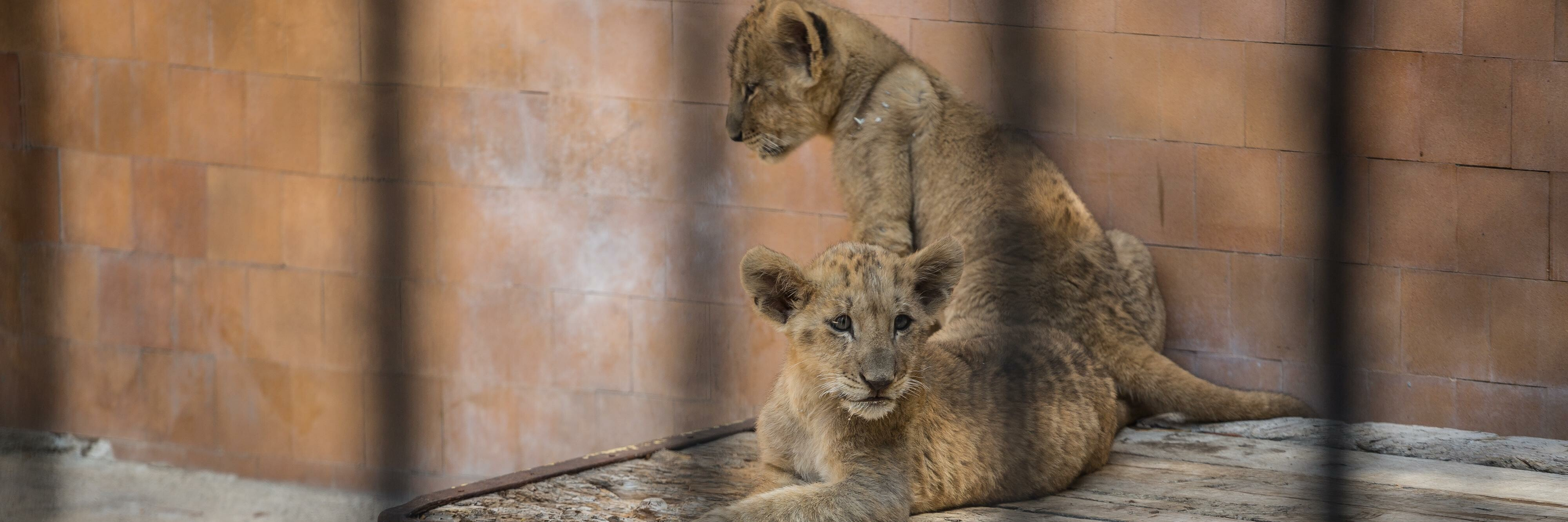 Leeuwenwelpen in Bulgarije
