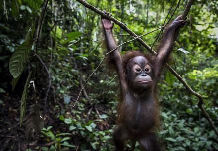 Orangutan Tegar at the ORANGUTAN FOREST SCHOOL