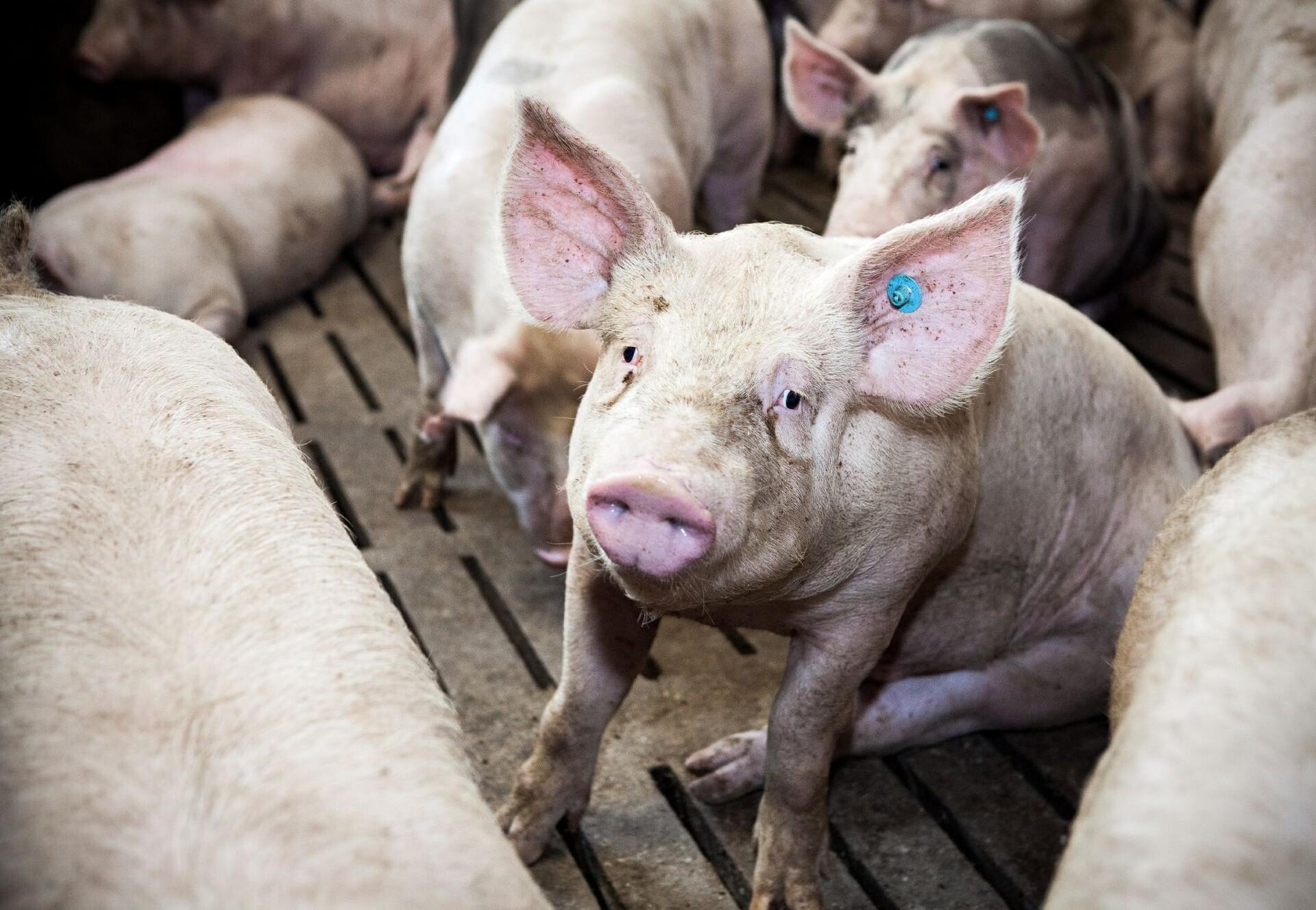 Schweine auf Spaltenboden