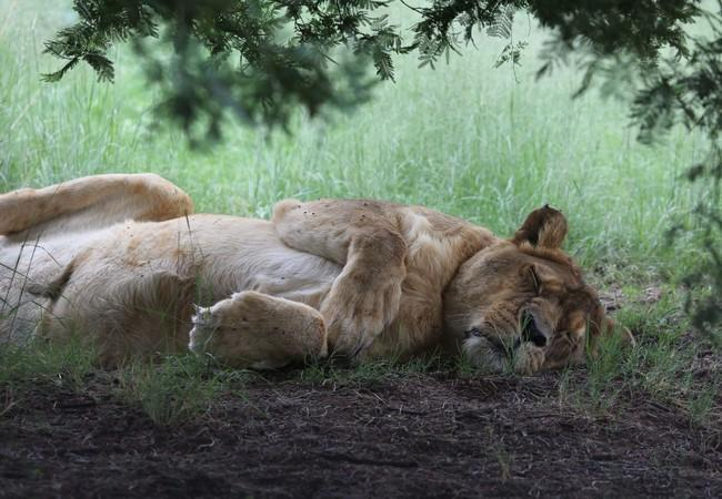 Lion Pregan sleeping