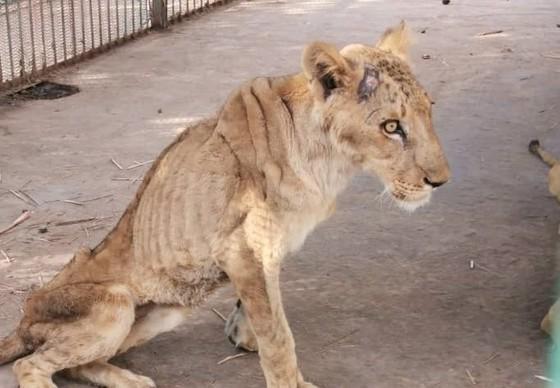 Abgemagerte Löwin im Sudan
