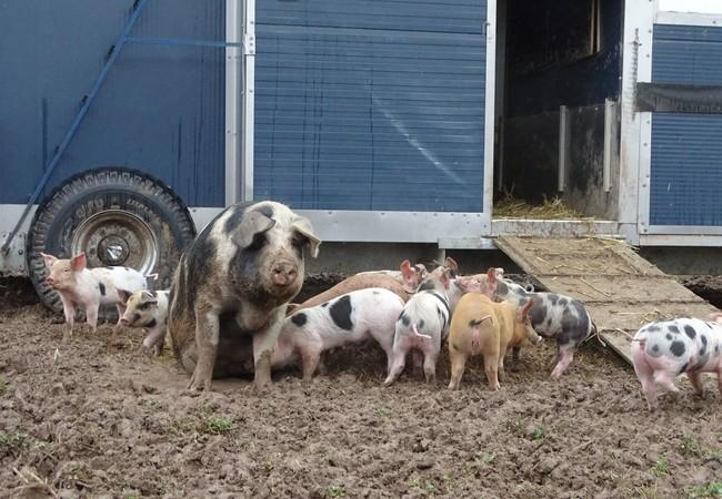 Tiergerechte Schweinehaltung in Deutschland