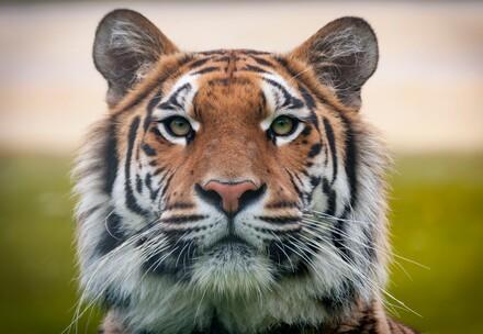 Les tigres sauvés par QUATRE PATTES