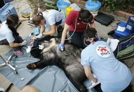 Rescue of Asiatic bile bears in Vietnam