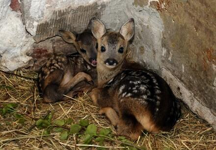Fawns, young deer