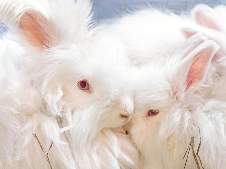 Fluffy Angora rabbits