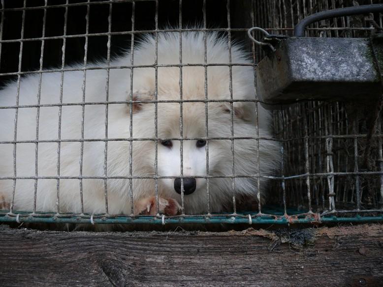 White fox on fur farm