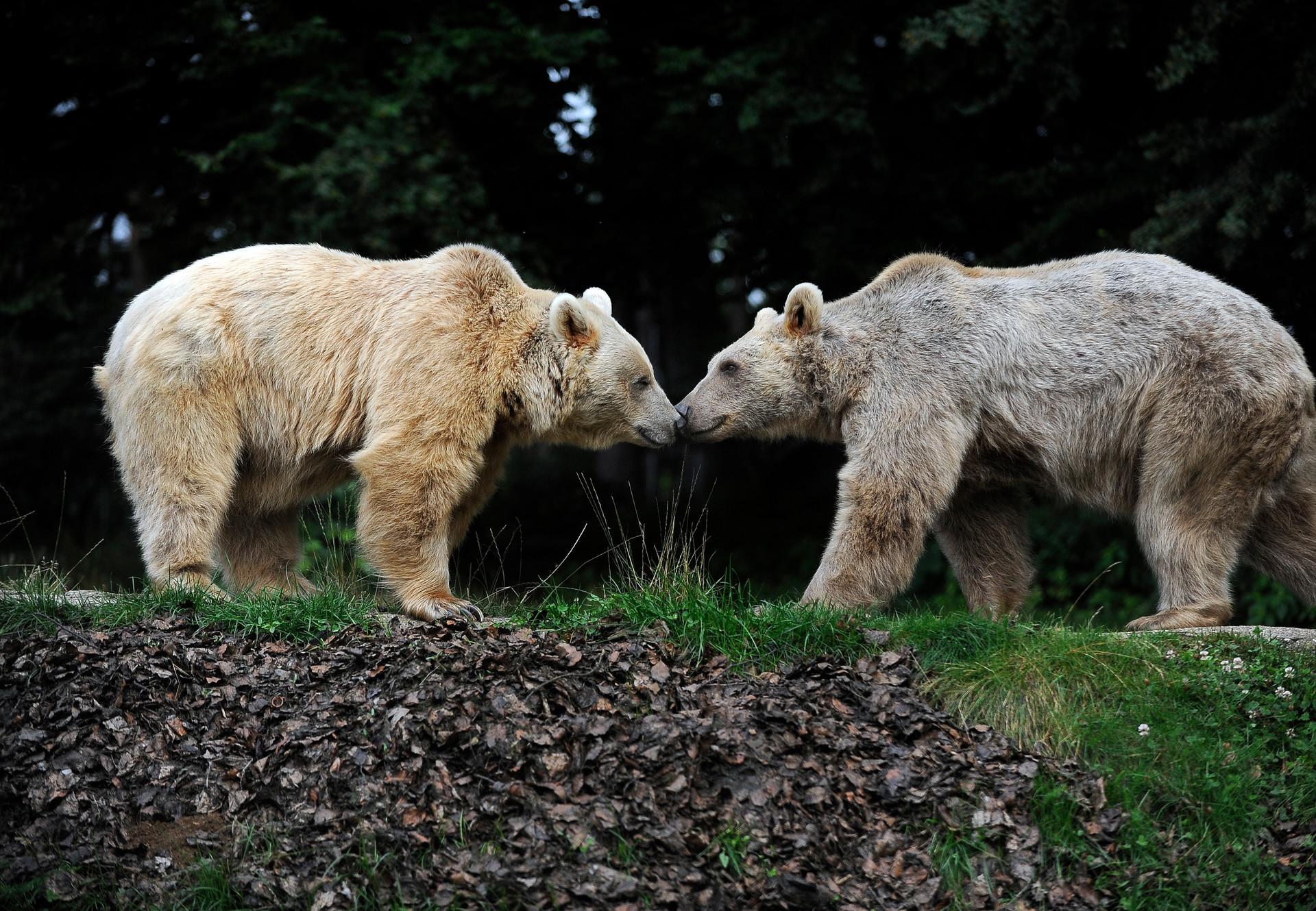 Vergessellschaftung Bären