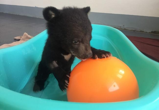 Rescued bear cub Mochi playing with a yellow ball