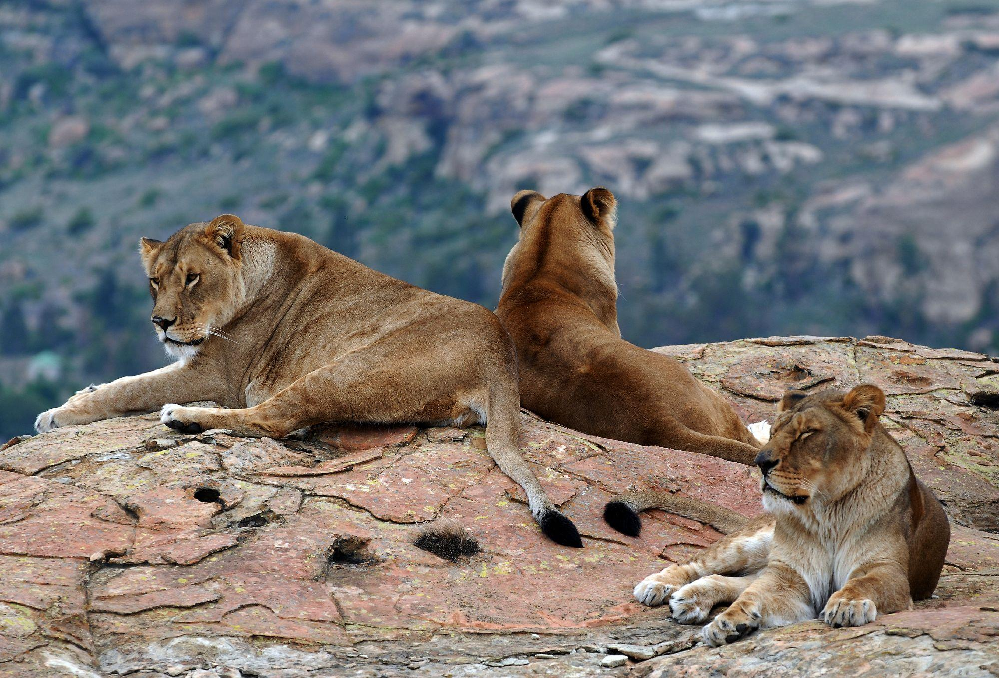 A group of lionesses