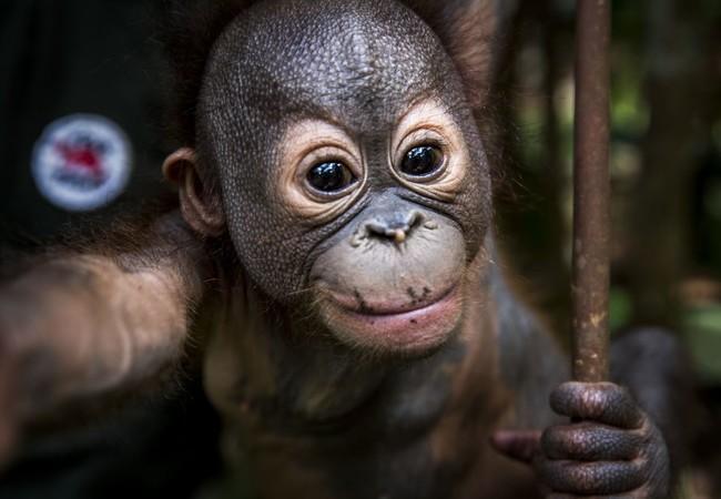 Orangutan Gerhana smiling