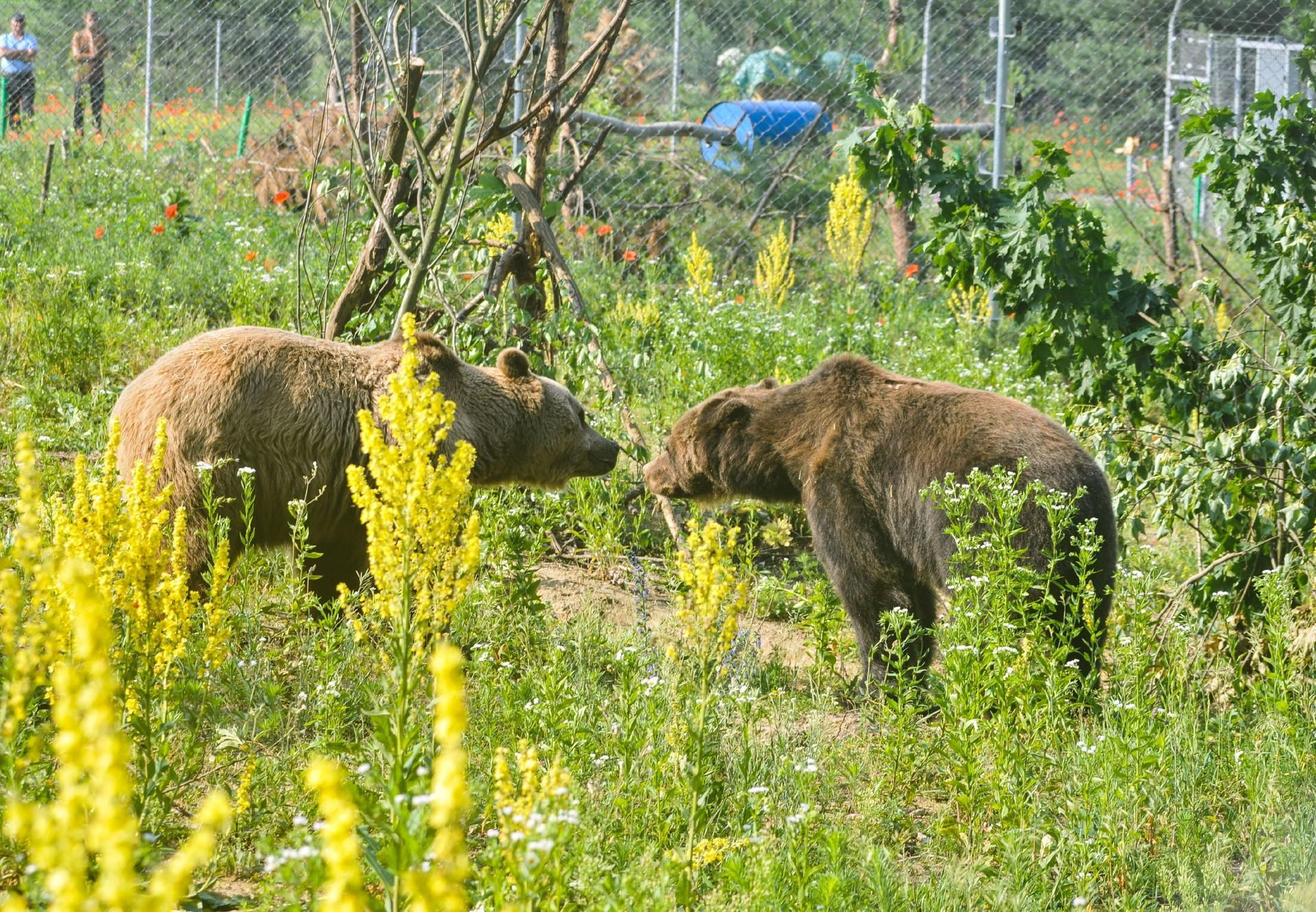 Bears Tyson and Mashutka at BEAR SANCTUARY Domazhyr