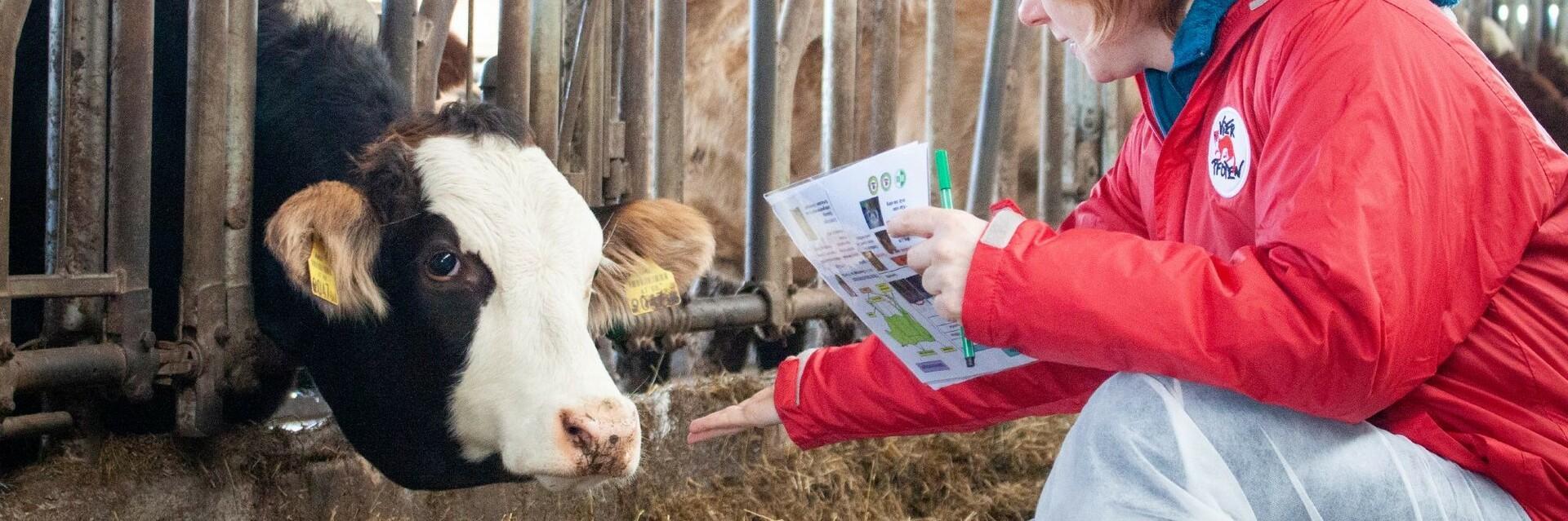 Mitarbeiterin von VIER PFOTEN kontrolliert eine Kuh im Stall