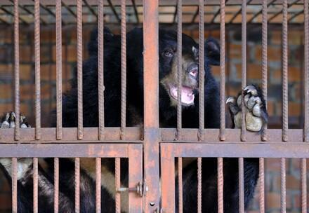 Biggest FOUR PAWS mission in Vietnam: Seven bile bears rescued from cruel captivity
