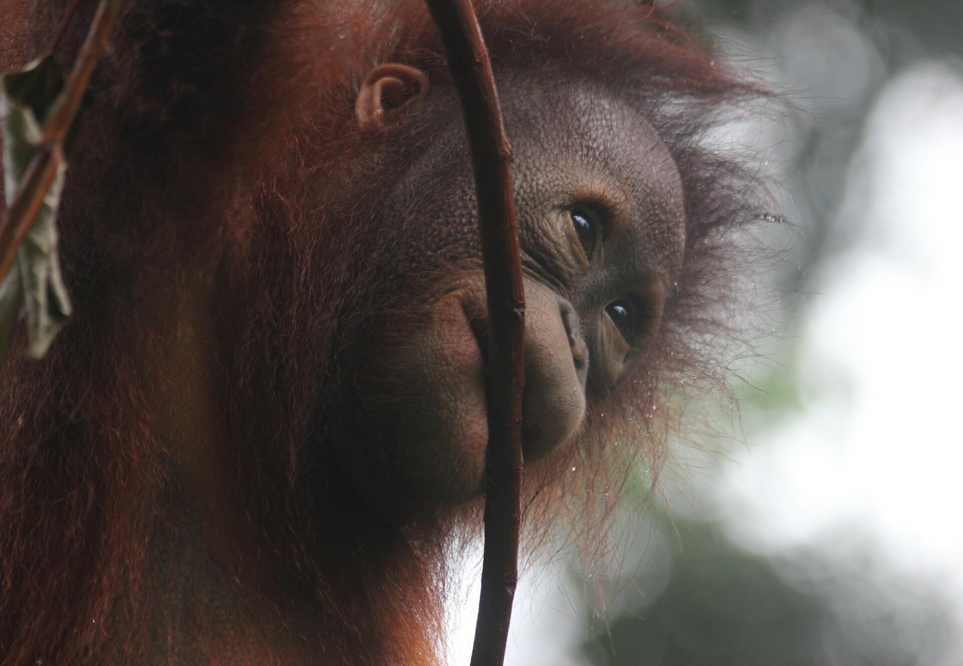 Orangutan Damai