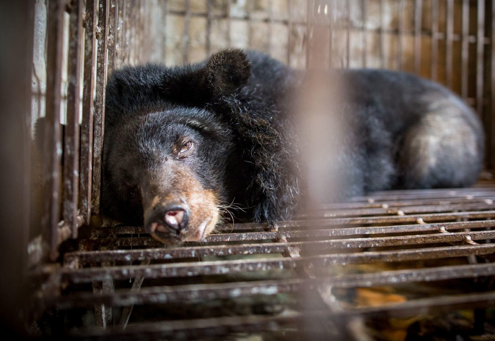 Bile bear in Vietnam