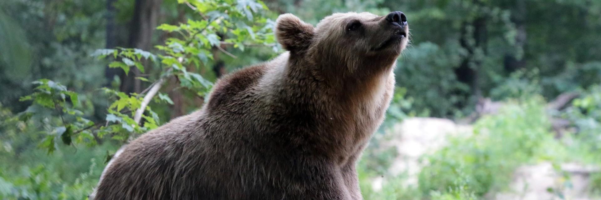 Bear Bodya at BEAR SANCTUARY Domazhyr