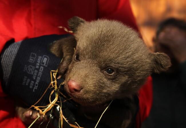 Brown bear cub Andre when rescued