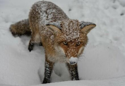 Rescued fox in snow