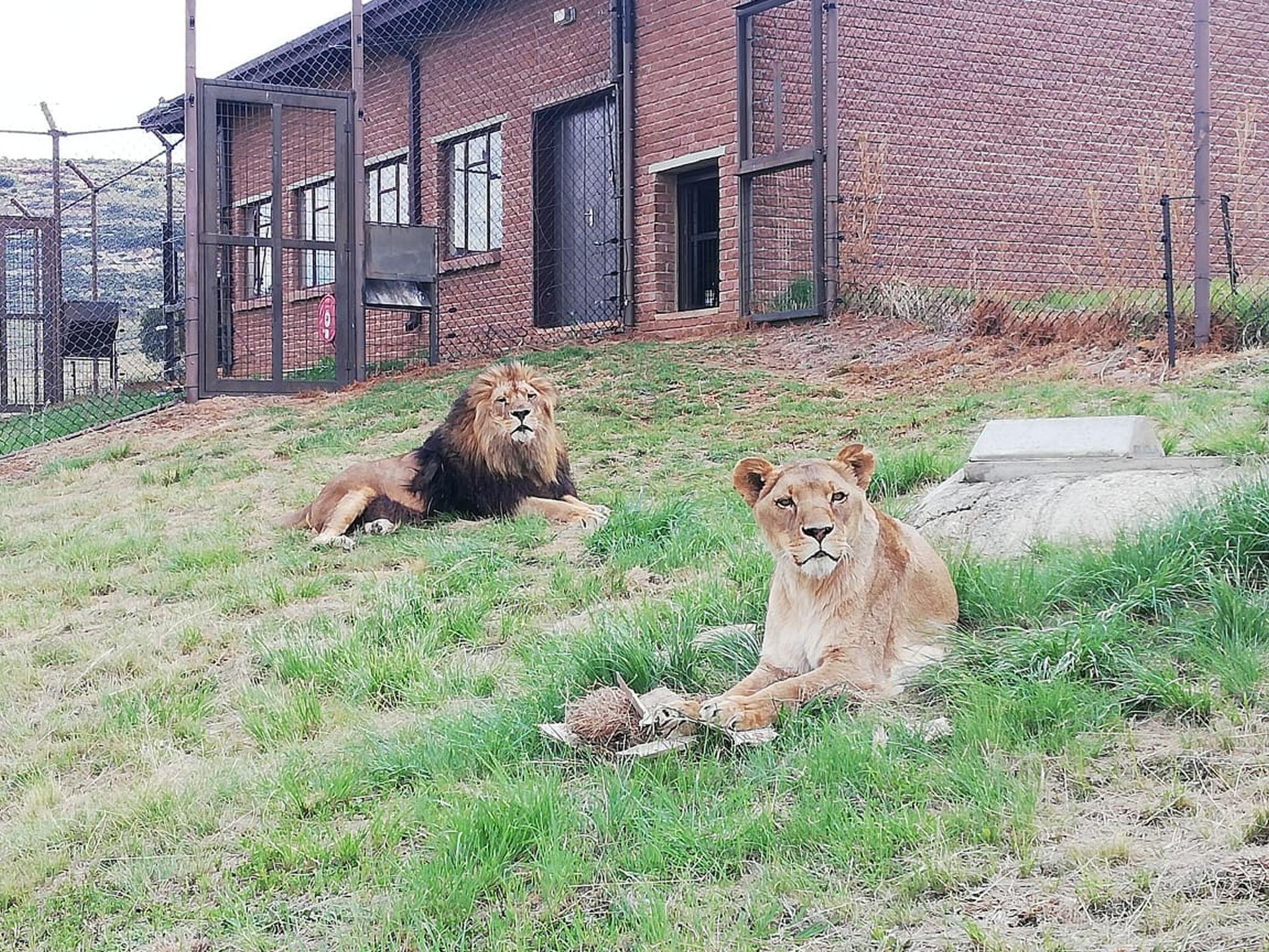 Leeuwen Giovanni en Nora in LIONSROCK