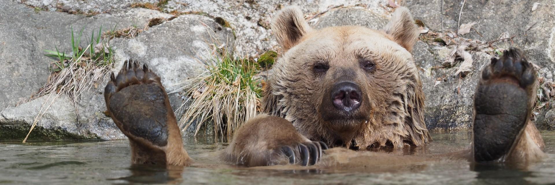 Braunbär badet gemütlich im Teich