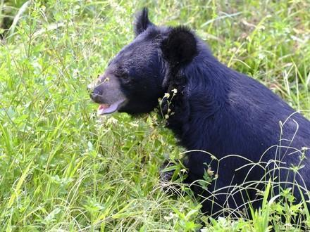 Bear Keo sitting in the grass