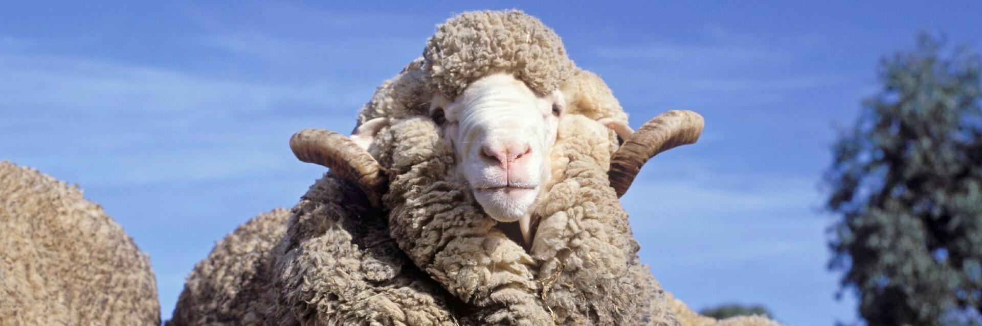 Schafe in Australia