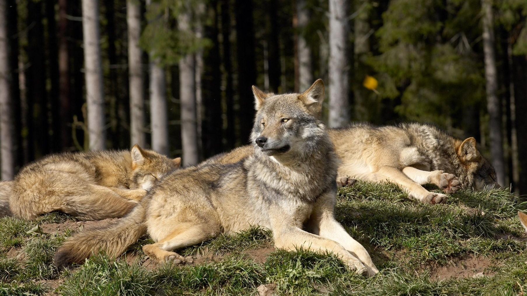 The wolf also known as Canis lupus