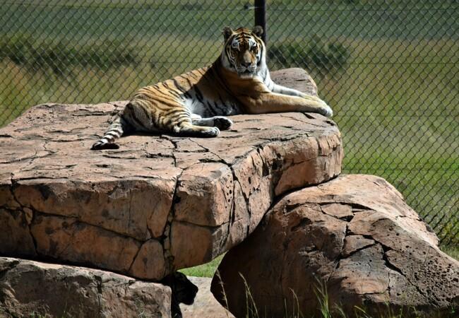 Tiger Tomi