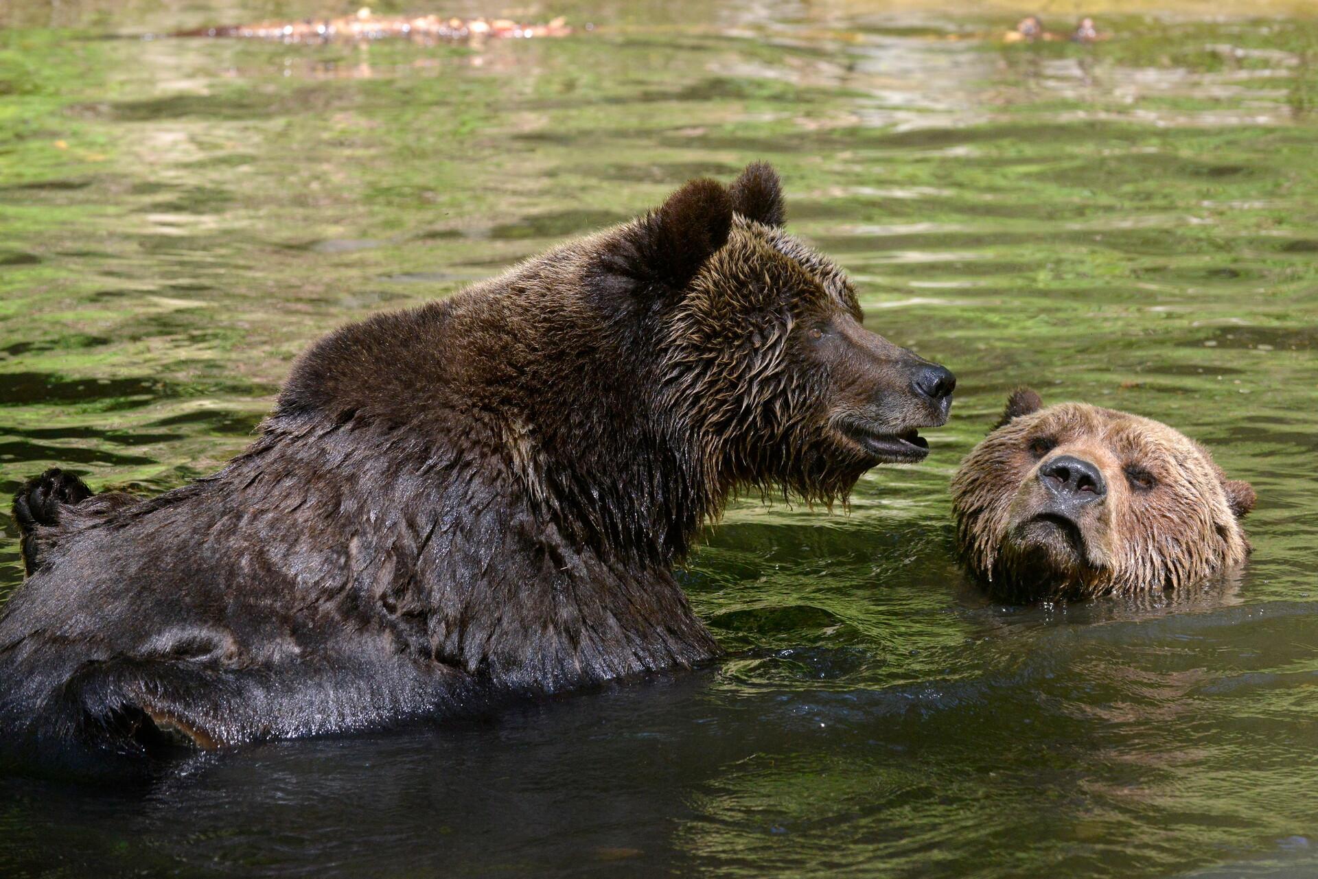 Bären spielen im Wasser