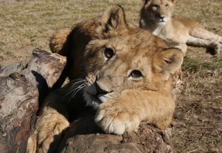 Jonge leeuwen in Lionsrock
