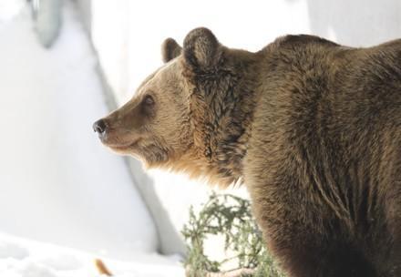 Bear Amelia