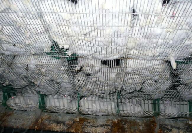 The bottom made of wire mesh is the most common reason for severe injuries to the paws / legs of the farming rabbits