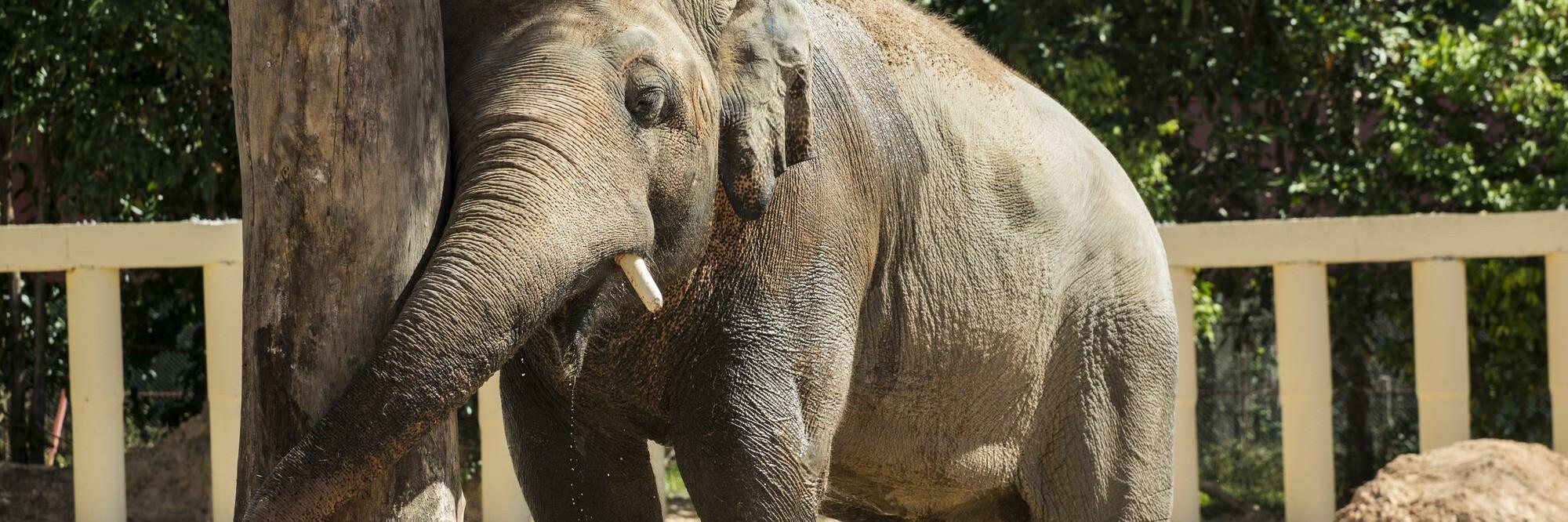 Elephant Kaavan