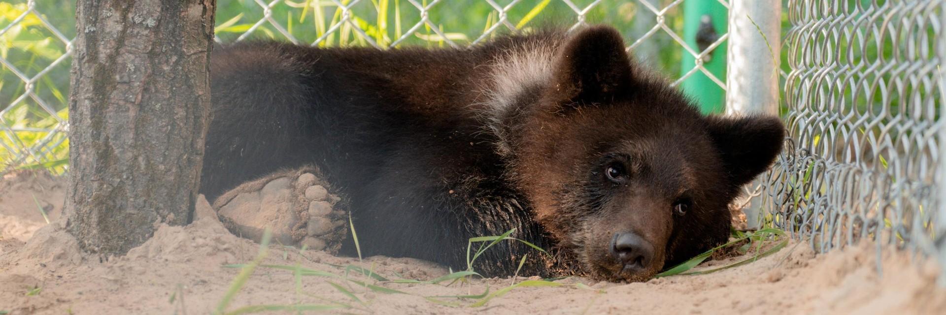 Bear cub Andor