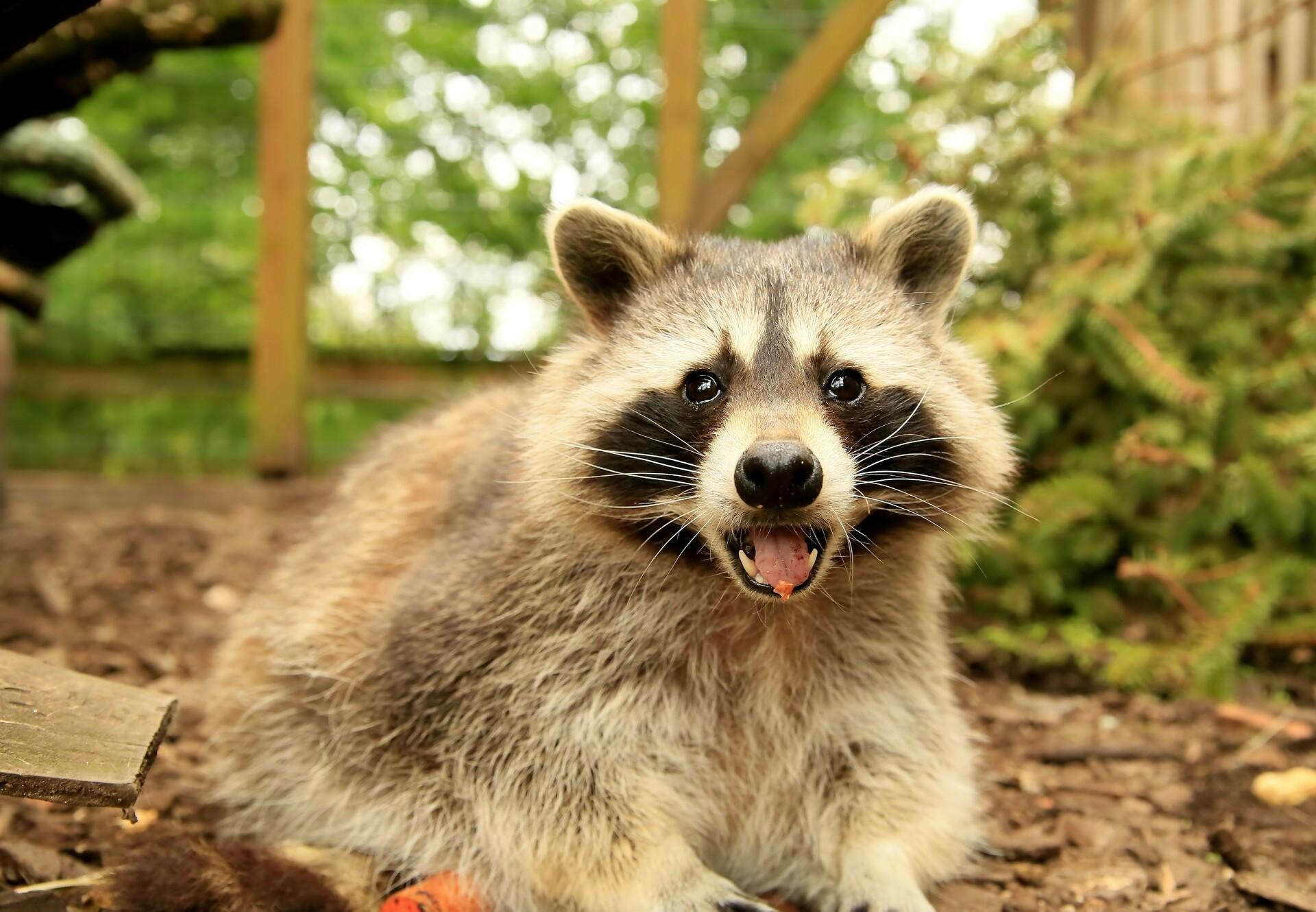 Raccoon at TIERART